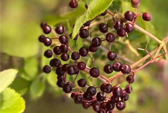 Homestead Blog Hop Feature - How-To-Prepare-For-Cold-Flu-Season-With-Elderberry