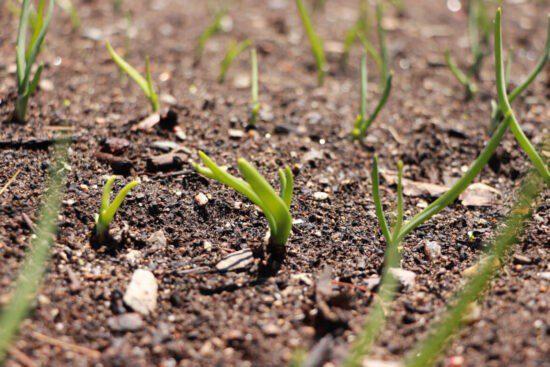 Homestead Blog Hop Feature - Planting-Onions-3-Ways
