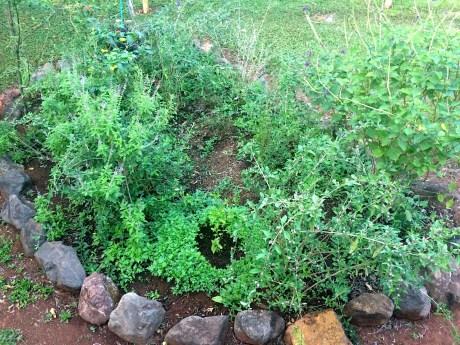 Photo of medicinal herbs in a rock garden taken on Refugio de Los Angeles
