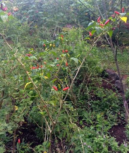 Photograph of a bush of cayenne chilis.