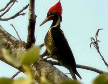 Photograph of a Lineated Woodpecker in a tree. The Lineated Woodpecker has a large bright red crown.