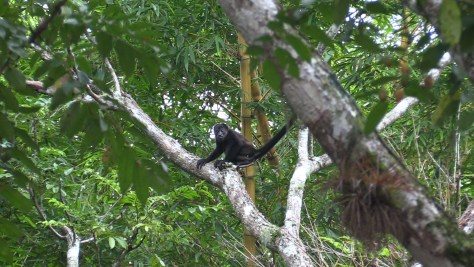 A young howler monkey sits in a tree