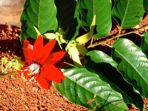 Photograph of a red petalled flower with a white bloom and lush green leaves