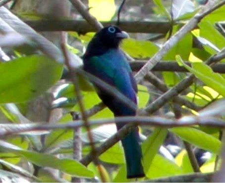 Photograph of a dark blue bird with a black tail and black head perched in a thicket of branches.
