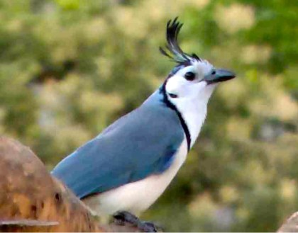 Photo of a White-throated Magpie-Jay.