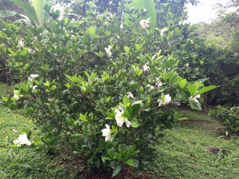 Photograph of Gardenia Bush