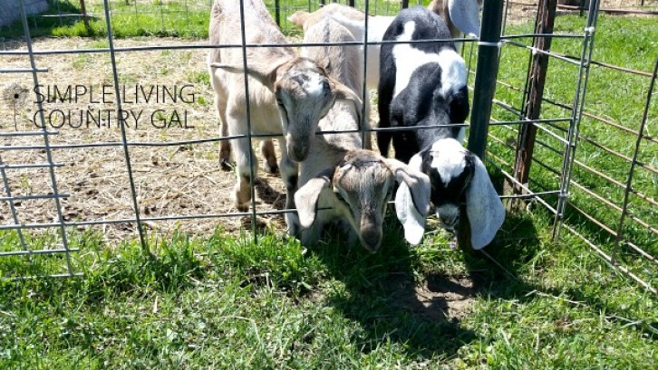 Goat Fencing 101 Everything You Need To Know