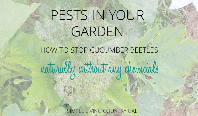 how to get rid of lawn beetles naturally
