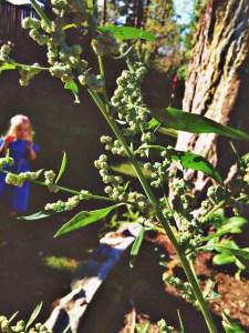 quinoa plant in BC