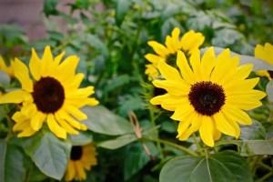 dwarf sungflower plants