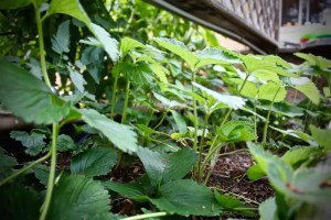 under strawberry leaves