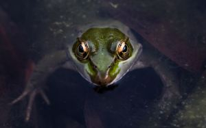 staring frog