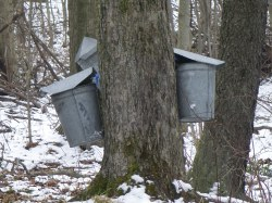 Tapping trees & Collecting Sap