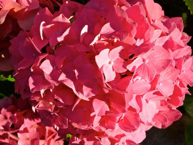 Pink Hydrangea | Simple Sojourns
