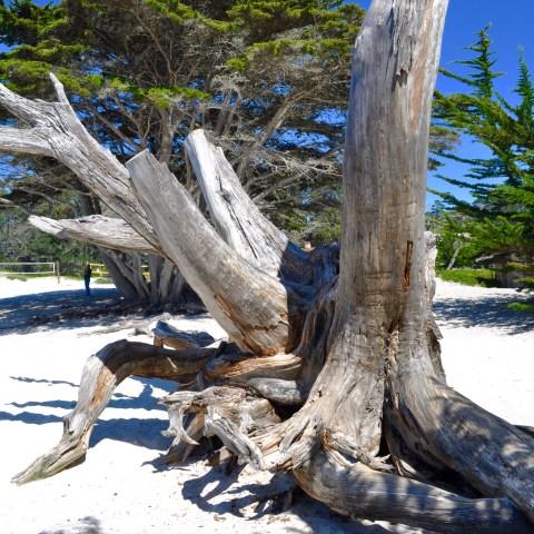 Carmel Beach Tree - Simple Sojourns