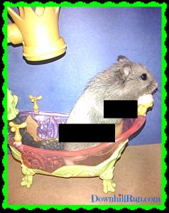 hamster shower
