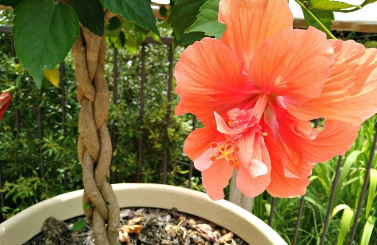 Friday Flowers – Hibiscus
