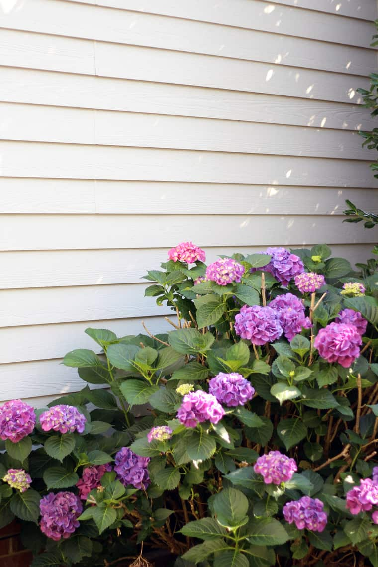 Our (Real Life) Summer Home Tour hydrangea