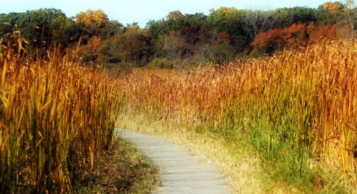 Boardwalk through cattails on a lake during Autumn.