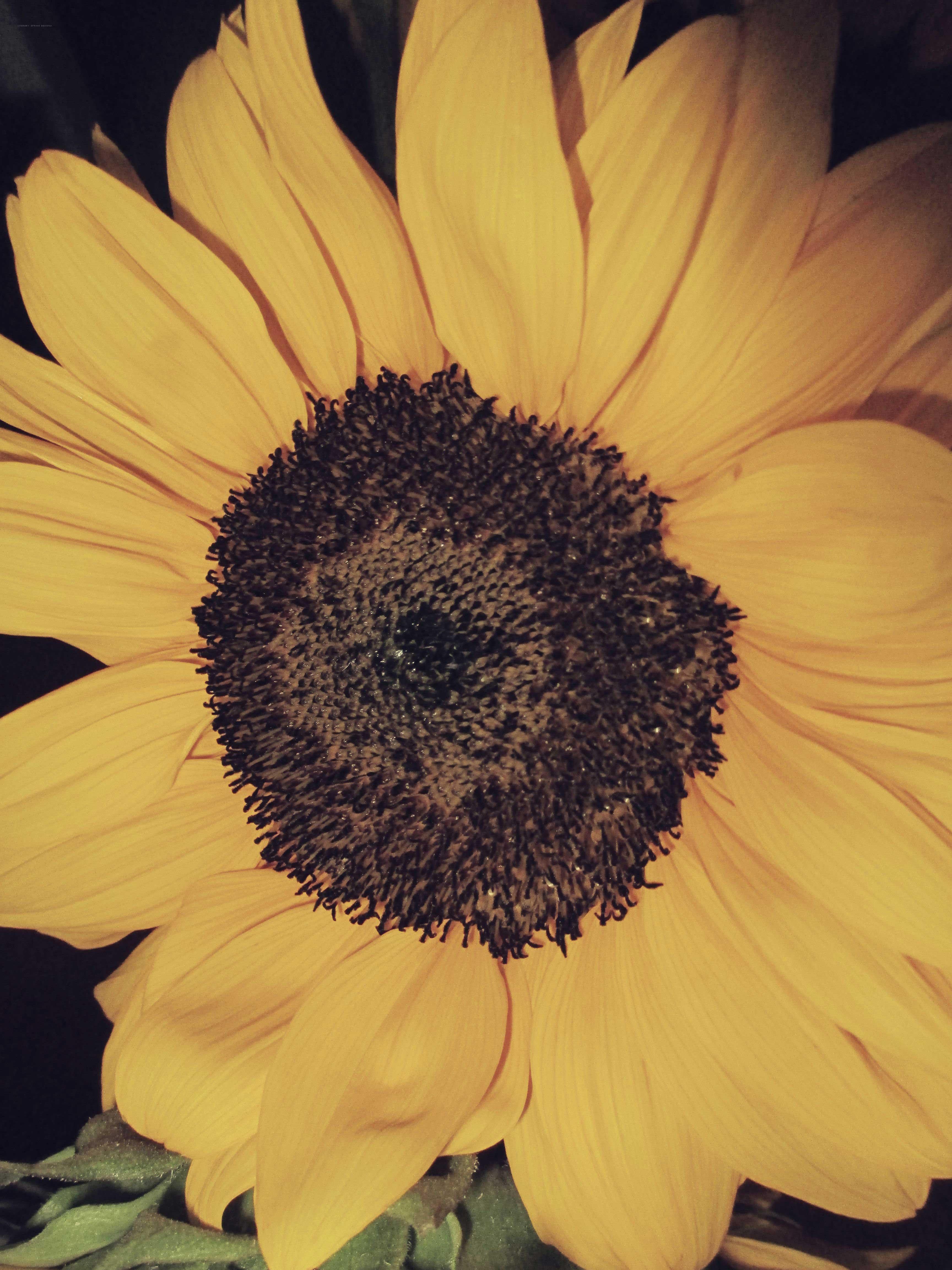 Black  White Sunflower Photos  Literary Spring Designs