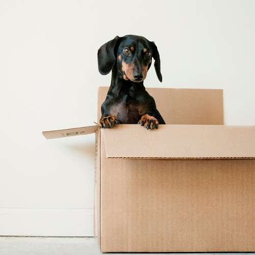 dachshund in a cardboard box