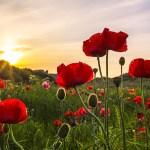 Poppies - martin steele