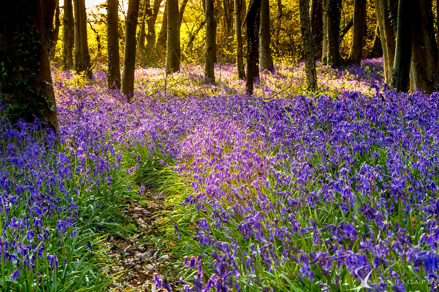 Blooming Woodlands - West Stoke Bluebells
