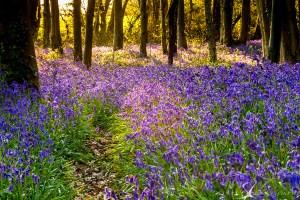 Blooming Woodlands - West Stoke Bluebells