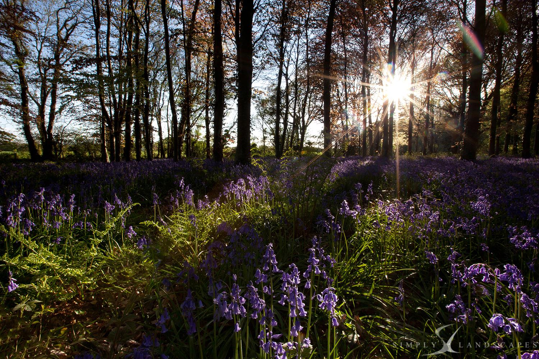 Bluebells SunFlare