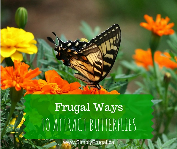 Frugal Ways to Attract Butterflies- Take a look at these 7 frugal ways to attract butterflies to your garden so you can enjoy them and the benefits they bring all season long.