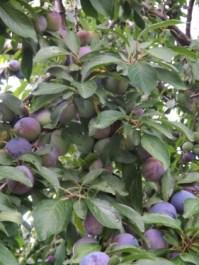 Plum Tree Blog-8