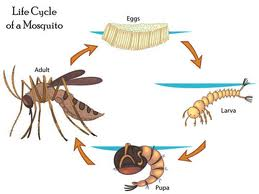 live cycle mosquito