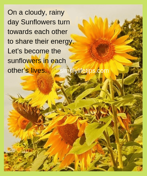 Brilliant message about life from Sunflowers