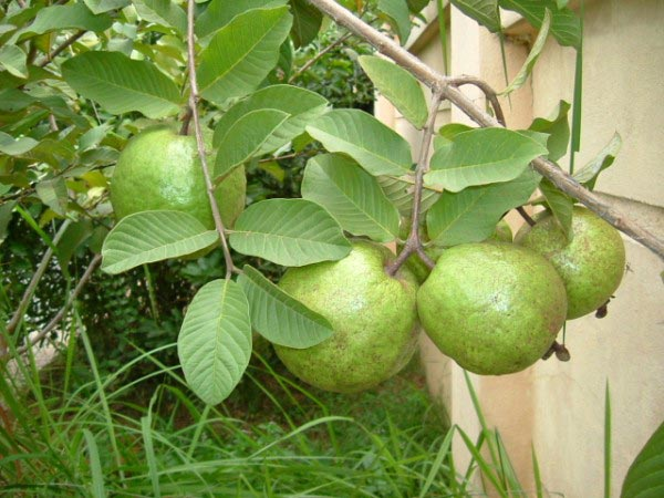 Guava Leaves To Cure Gingivitis