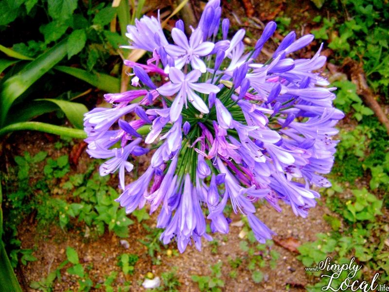 Blue Mountains Jamaica purple flower