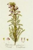 Lavender Botanical_11