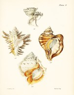 Seashell_4