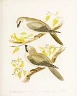 Birds of Australia_12