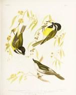 Birds of Australia_13