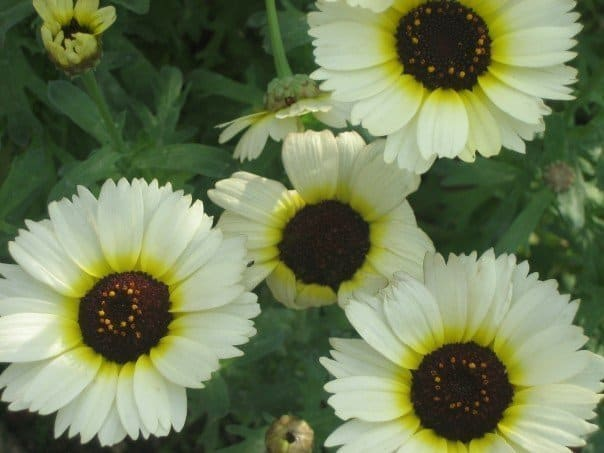 Close-up of white and yellow daisies.
