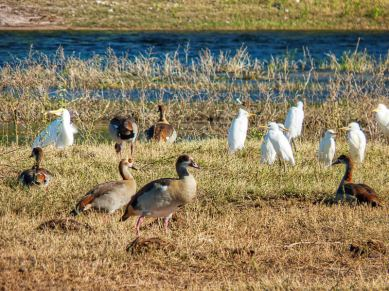Egyptian geese and egrets