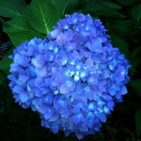 Hydrangea Joy | Weekly Photo Challenge: Vivid