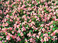 Pink Petals 2