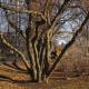 Multi-stemmed tree