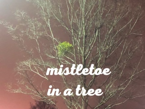 Mistletoe in a tree on a wintery evening