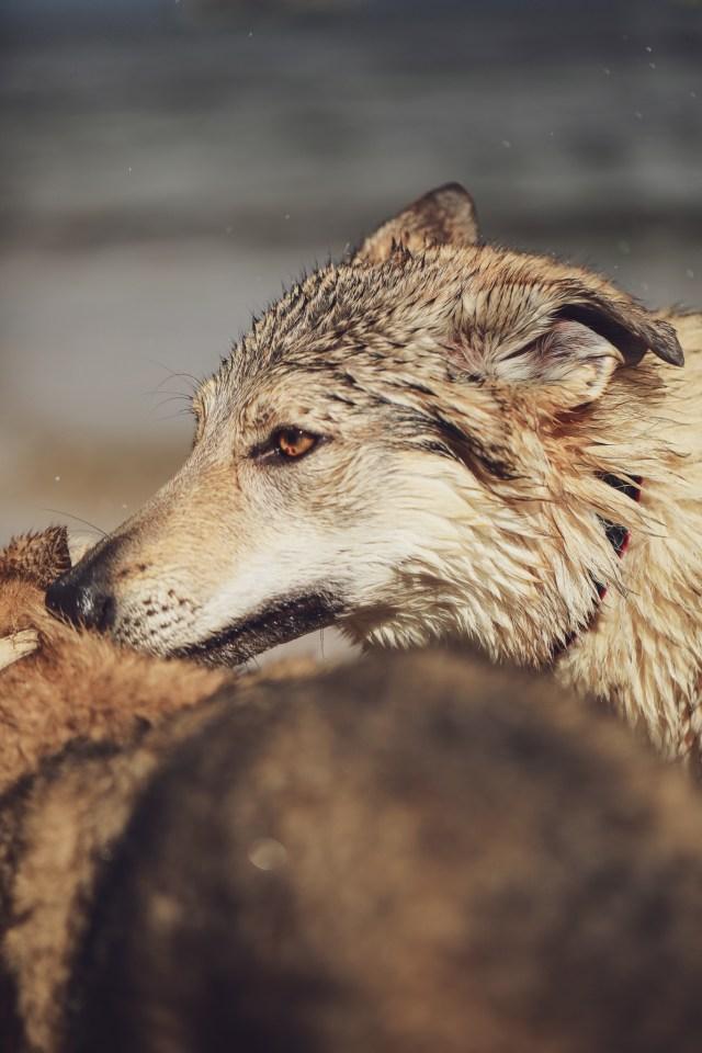 wilczak wilk