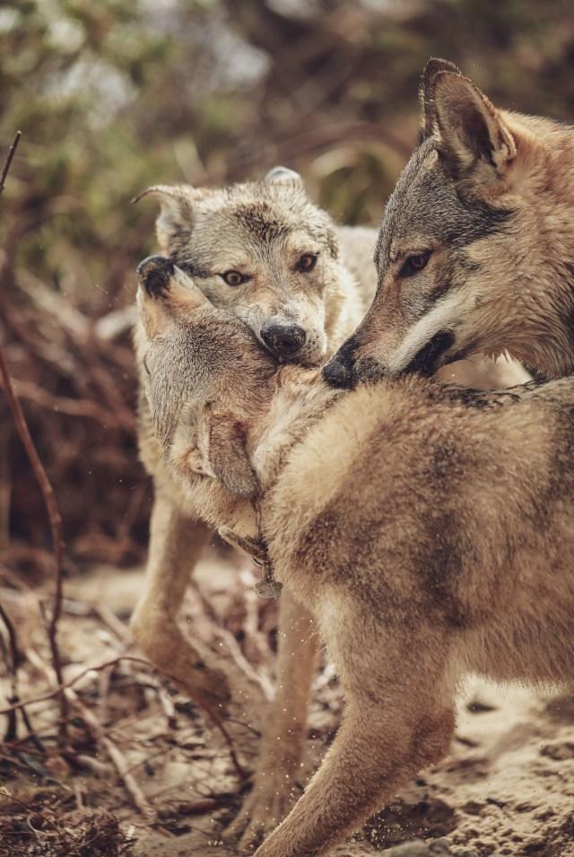 wilczaki wilki