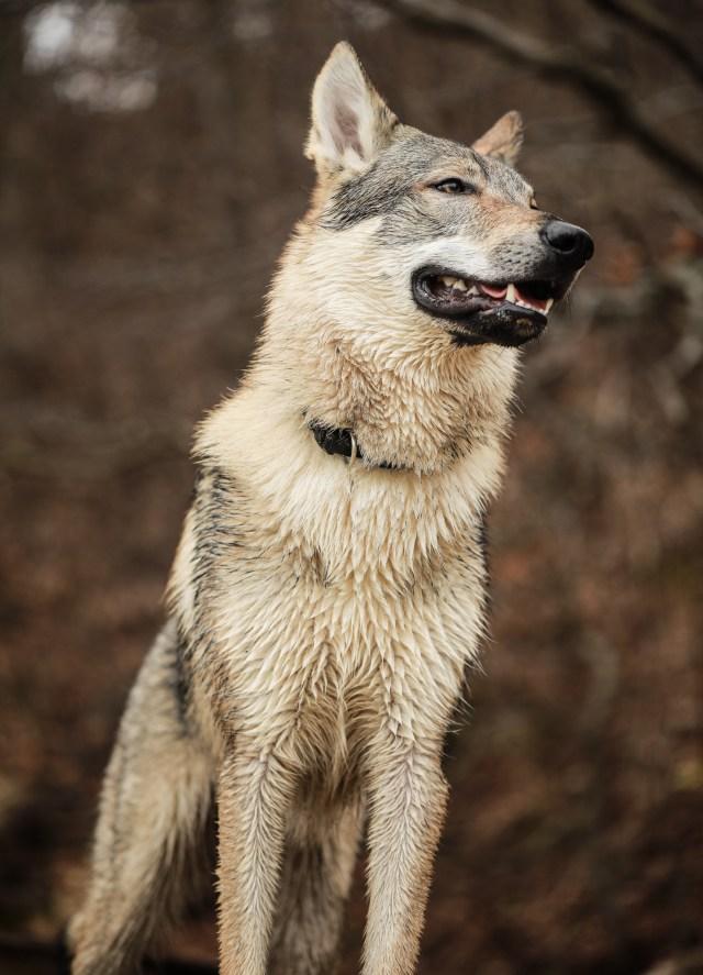 wilczak czechosłowacki wilk