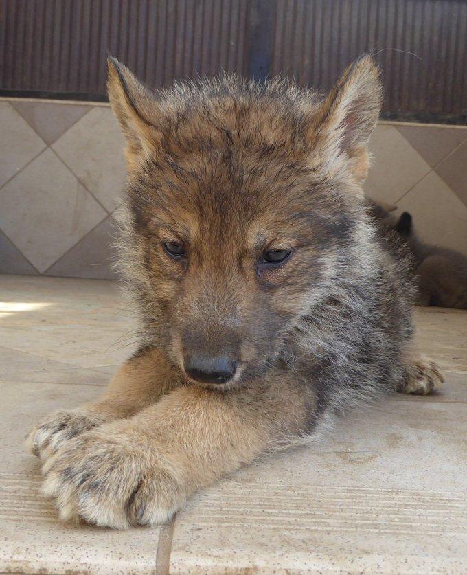 american wolfdog szczenię