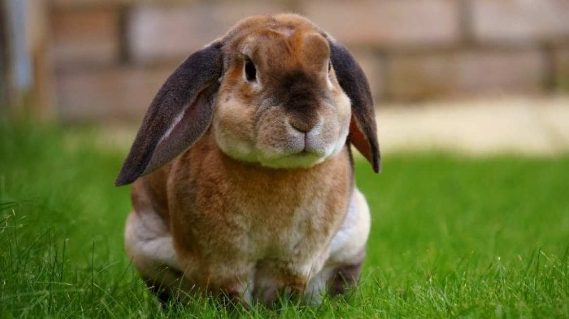 rabbit-pet-sat-on-grass